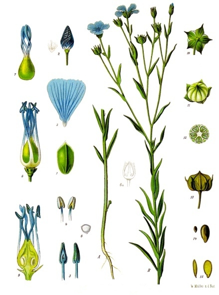 Botanical illustraion of Linum Usitatissimum plant from the Kohler Medizinal Pflanzen