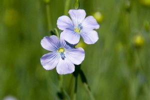 flax-flower-crop-web