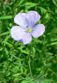 flax-flower-mp-200